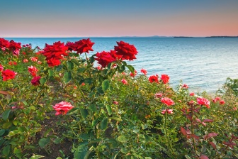 Roses By the Sea